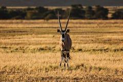 面对照相机的大羚羊羚羊属在纳米比亚沙漠 库存照片
