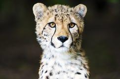 面对照相机的猎豹 免版税库存照片