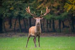 面对照相机的马鹿雄鹿在草甸 免版税库存图片