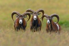 面对照相机的Mouflons 免版税库存照片