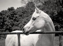面对白色阿拉伯的马左 免版税库存照片