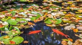 面对的两条金黄鱼在有下落的黄色l的一个池塘 免版税库存图片