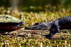面对的乌龟和鳄鱼 免版税库存照片