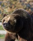 面对的北美灰熊左 库存照片