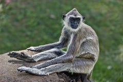 面对的叶子猴子紫色 图库摄影