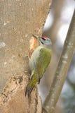 面对的灰色啄木鸟 库存图片