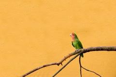 面对的爱情鸟桃子 库存图片
