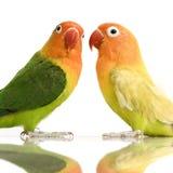面对的爱情鸟桃子 免版税图库摄影