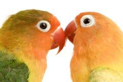 面对的爱情鸟桃子 免版税库存图片