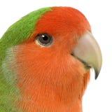 面对的爱情鸟桃子 库存照片