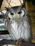 面对的猫头鹰白色 免版税库存照片