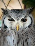 面对的猫头鹰白色 图库摄影