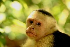 面对的猴子白色 图库摄影