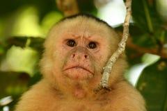 面对的猴子白色 库存图片