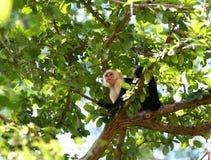 面对的猴子白色 库存照片