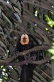 面对的猴子saki白色 免版税库存图片