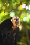面对的猴子saki白色 库存照片