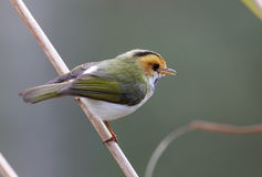 面对的红褐色鸣鸟 免版税库存图片
