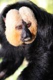 面对的猴子pithecia saki白色 免版税库存照片