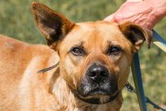面对逗人喜爱的哀伤的狗,被混合的品种褐色特写镜头与滑稽的耳朵的 免版税库存照片