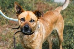 面对逗人喜爱的哀伤的狗,被混合的品种褐色特写镜头与滑稽的耳朵的 免版税图库摄影