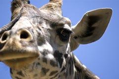 面对长颈鹿 库存照片