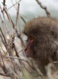 面对雪猴子的头左 免版税图库摄影