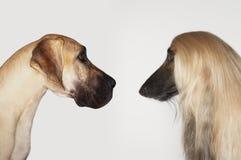 面对面丹麦种大狗和的阿富汗猎犬 库存照片