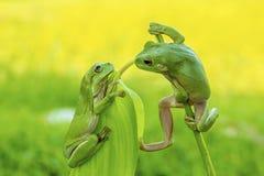 面对面的雨蛙 免版税库存照片