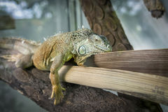 面对面美丽的iguania 库存图片