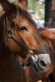 面对马配置文件 免版税库存图片