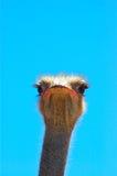 面对驼鸟 图库摄影