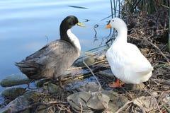 面对eachother的两只鸭子 库存照片