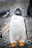 面对Gentoo企鹅 库存图片