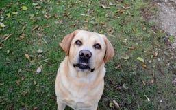 面带笑容面对拉布拉多猎犬 利耶帕亚,拉脱维亚 库存图片