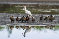 面无血色的吹口哨鸭子和非洲篦鹭在克鲁格Natio 库存图片