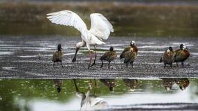 面无血色的吹口哨鸭子和非洲篦鹭在克鲁格Natio 库存照片
