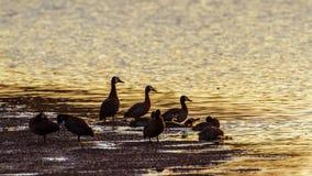 面无血色的吹口哨鸭子在克鲁格国家公园,南非 库存照片