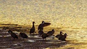 面无血色的吹口哨鸭子在克鲁格国家公园,南非 免版税库存图片