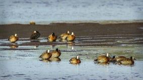 面无血色的吹口哨鸭子在克鲁格国家公园,南非 库存图片