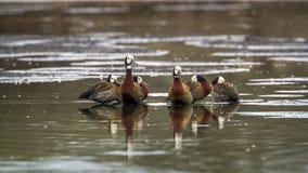 面无血色的吹口哨鸭子在克鲁格国家公园,南非 免版税库存照片
