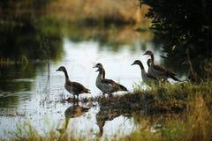 面无血色的吹哨的鸭子群  免版税库存照片