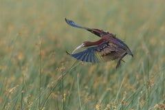 面无血色的朱鹭着陆在沼泽 库存照片