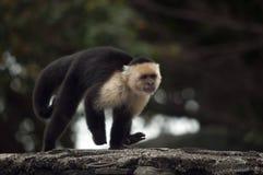 面无血色的连斗帽女大衣猴子,奥梅特佩岛,尼加拉瓜 免版税库存图片