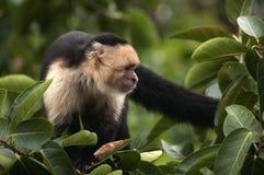 面无血色的连斗帽女大衣猴子,奥梅特佩岛,尼加拉瓜 库存图片