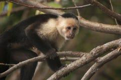 面无血色的连斗帽女大衣猴子,奥梅特佩岛,尼加拉瓜 免版税图库摄影