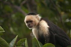 面无血色的连斗帽女大衣猴子,奥梅特佩岛,尼加拉瓜 免版税库存照片