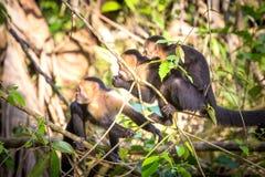 面无血色的猴子在哥斯达黎加 免版税库存图片