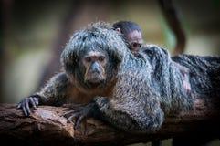 面无血色的saki、Pithecia pithecia、Guianan saki和金黄具有的saki,从新的世界的一只猴子 女性面无血色的saki 免版税库存照片