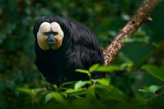 面无血色的Saki, Pithecia pithecia,深黑色猴子细节画象与白色面孔,动物在自然栖所,野生生物的, 免版税库存照片